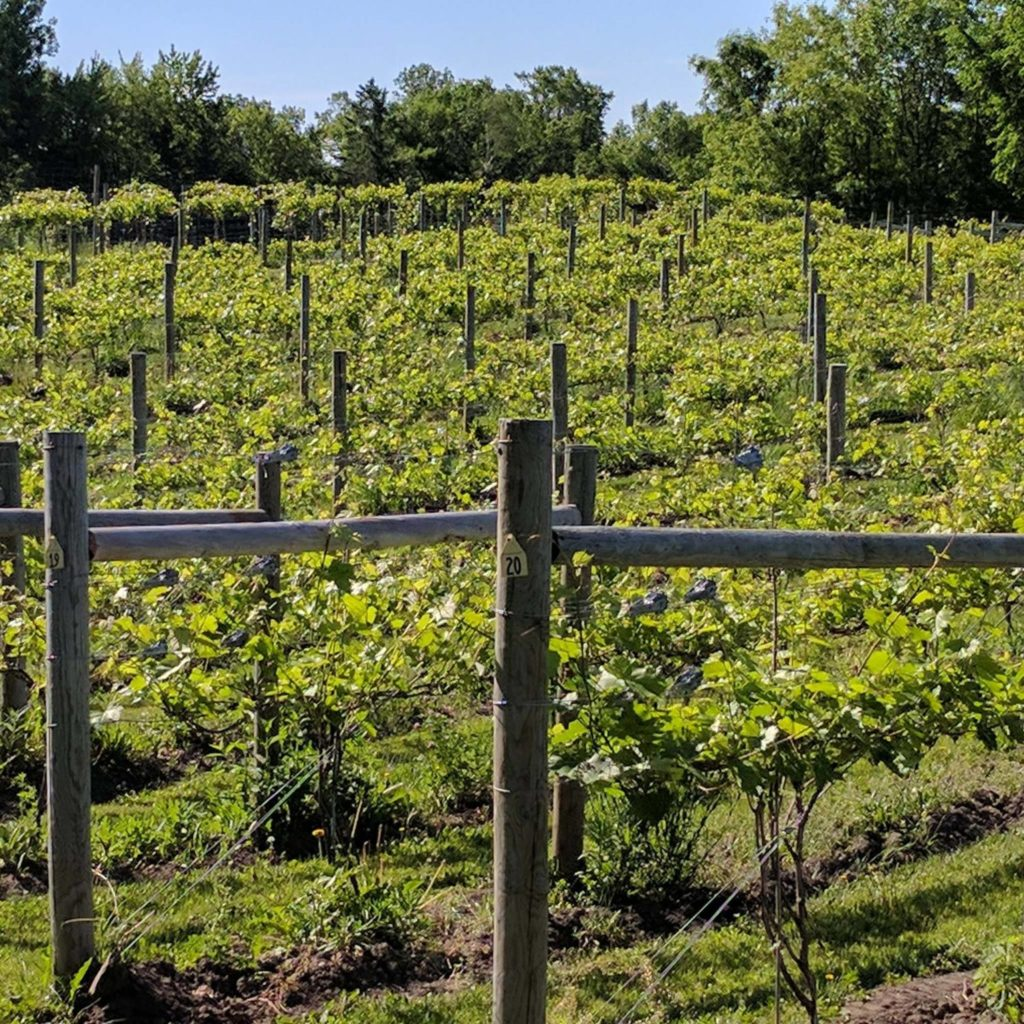 Carlos Creek Vineyard in Alexandria, Minnesota