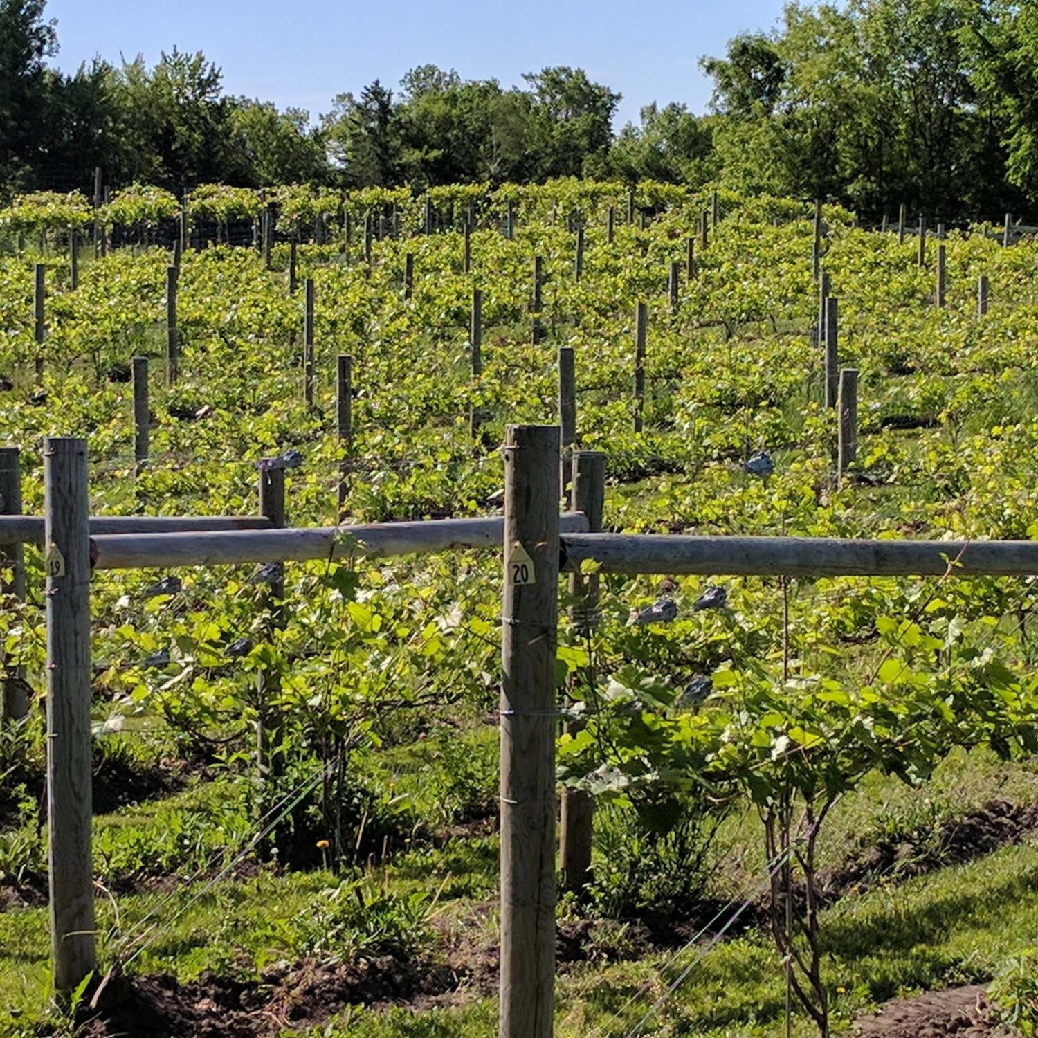 Carlos Creek Vineyard in Alexandria, Minnesota